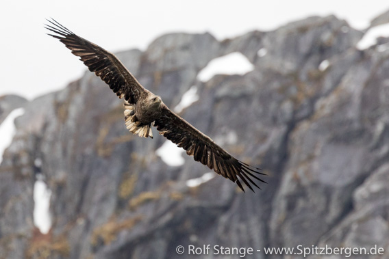 Sea eagle in Trollfjord
