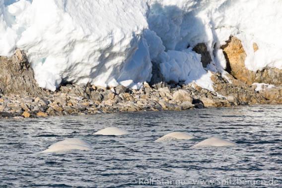 Beluga-Wale