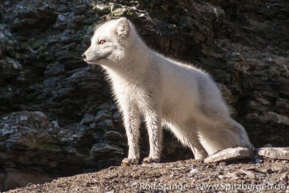 Tollwut Spitzbergen: Eisfuchs