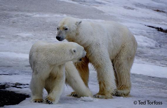 Eisbären Paarung, Hopen