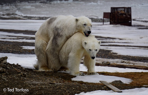 polar bears mating, Hopen