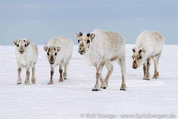 Rentiere, Frühsommer-Tundra, Spitzbergen