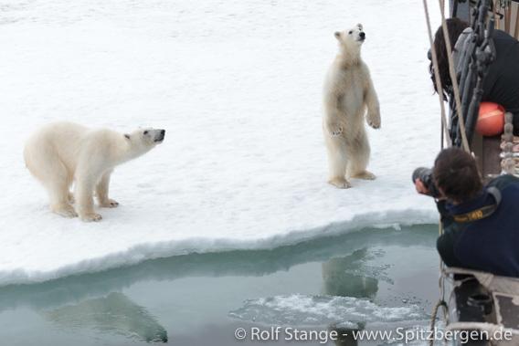 SV Antigua und Eisbärenbesuch, Spitzbergen