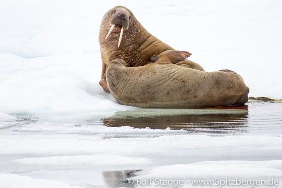 Walrosse auf Treibeis, Spitzbergen