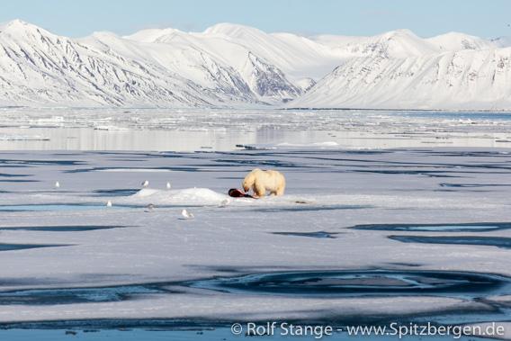 Eisbär auf Fjordeis, Spitzbergen