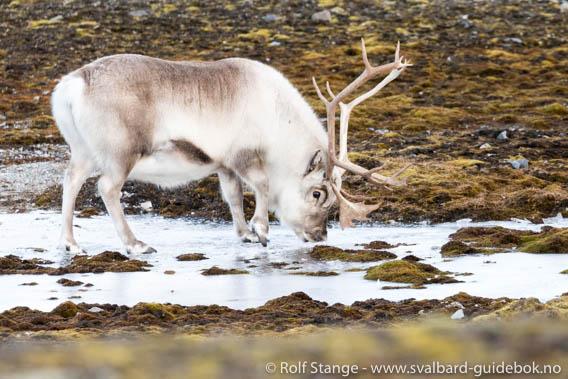 Reindeer, Steinpynten, Daudmannsøyra