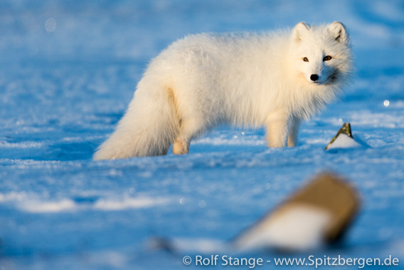»White fox« with white winterfur.