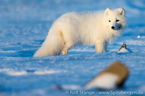 Eisfuchs im Winterfell