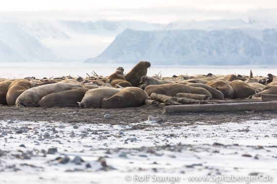 Walrus colony, Moffen