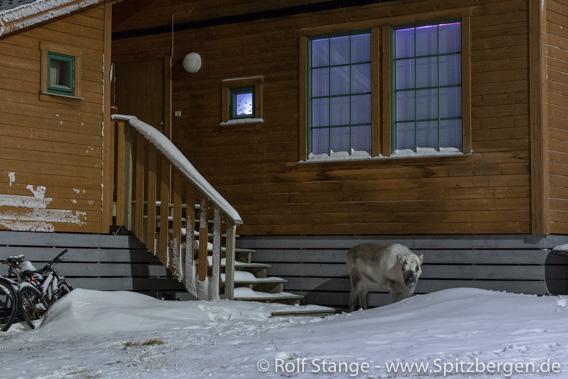 Rentier, Longyearbyen