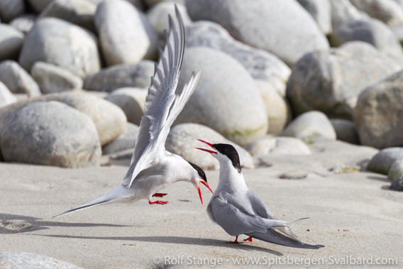 Arctic terns, Magdalenefjord