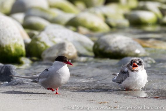 Arctic tern with chick, Magdalenefjord