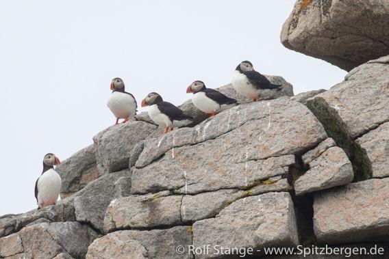 Papageitaucher, Foynøya