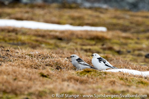 Snow buntings, Alkhornet