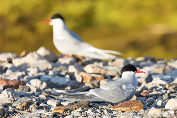 Arctic terns on nest, Ny-Ålesund