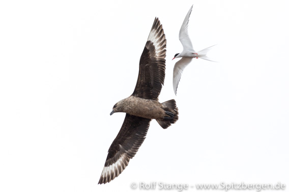 Arctic tern and Great skua