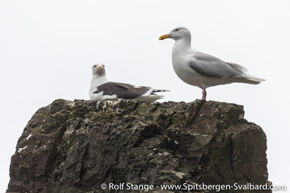 Great black-backed gull and Glaucous gull