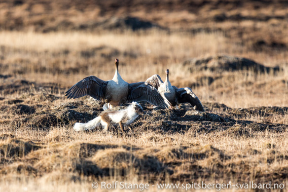 Kortnebbgås forsvarer reiret mot en fjellrev