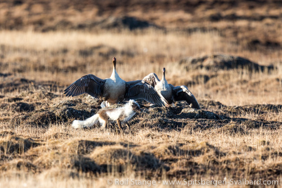 Pink-footed geese and arctic fox