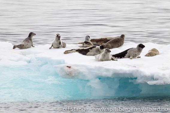 Grønlandsseler på isflak