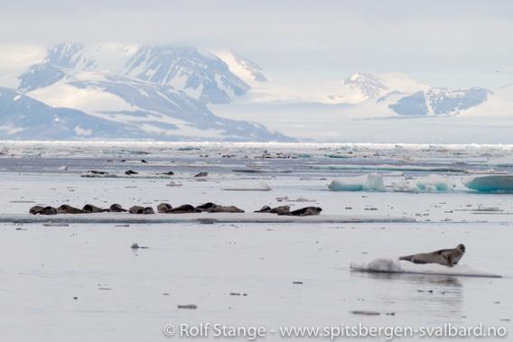 Flokker av Grønlandssel i åpen drivis