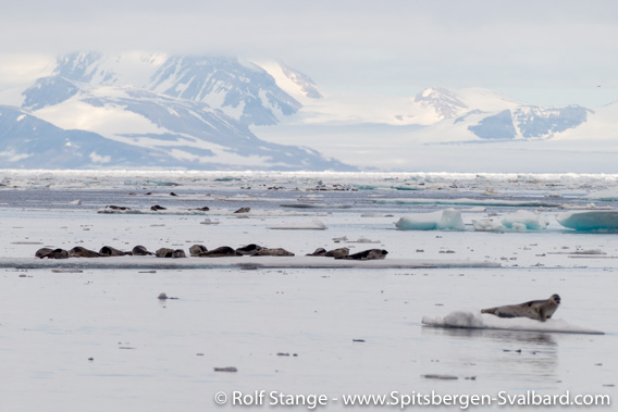 Groups of Harp seals on drift ice