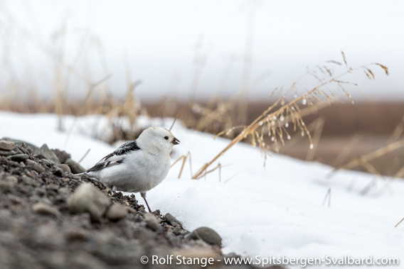 Snow bunting, Longyearbyen
