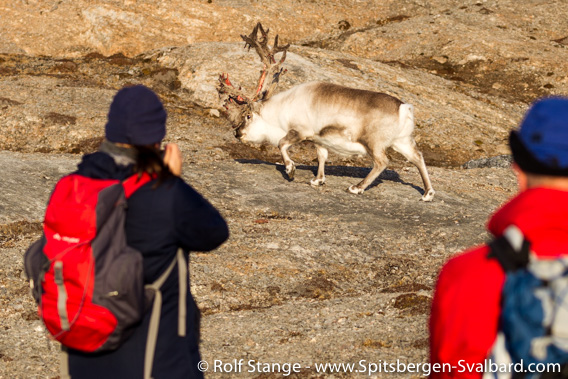 Reindeer and tourists