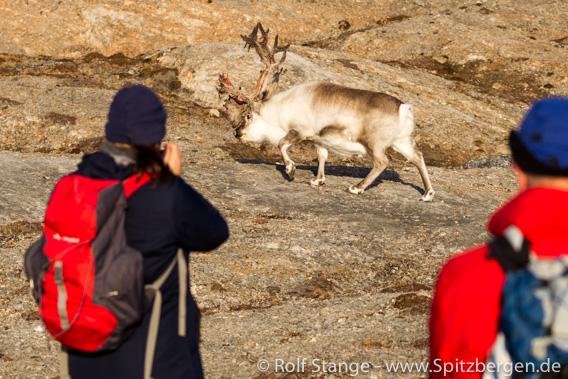 Spitzbergen-Rentier und Touristen