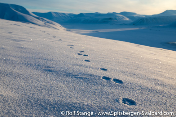 Tracks of an arctic fox on Hiorthfjellet
