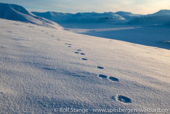 Spor etter fjellrev på Hiorthfjellet