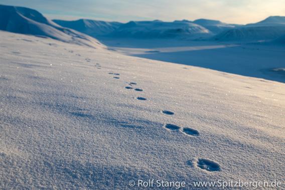 Spur Eisfuchs Hiorthfjellet