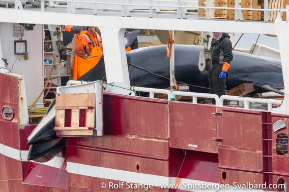 Whaling, Minke whale