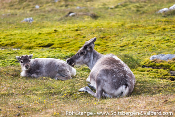 Spitsbergen reindeer, Alkhornet