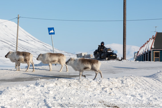 Svalbardrein i Longyearbyen