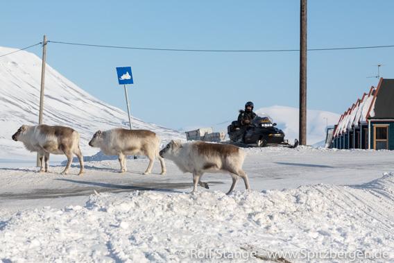 Spitzbergen-Rentier, Longyearbyen