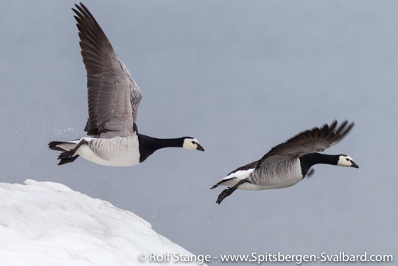 Barnacle geese, flying off after being disturbed by an arctic fox