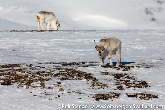 Svalbard reindeer, winter, Sassendalen