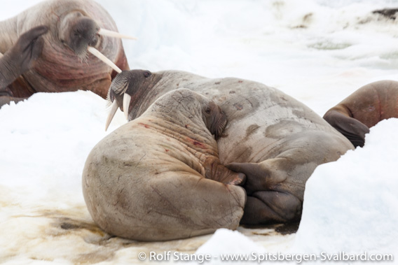 Walrus cow with calf