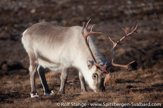Svalbard reindeer, Blomstrandhalvøya