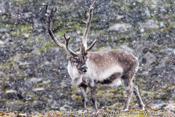 Svalbard reindeer: strong bull. Hornsund
