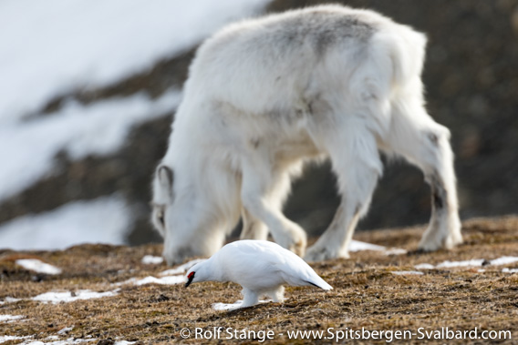 Reindeer and ptarmigan