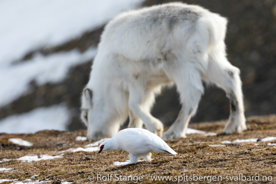 Svalbardrype og Svalbardrein