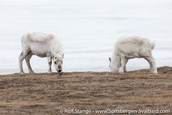 Spitsbergen-reindeer