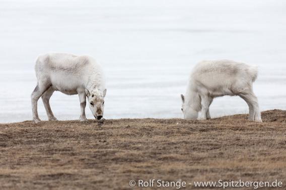 Spitzbergen-Rentiere