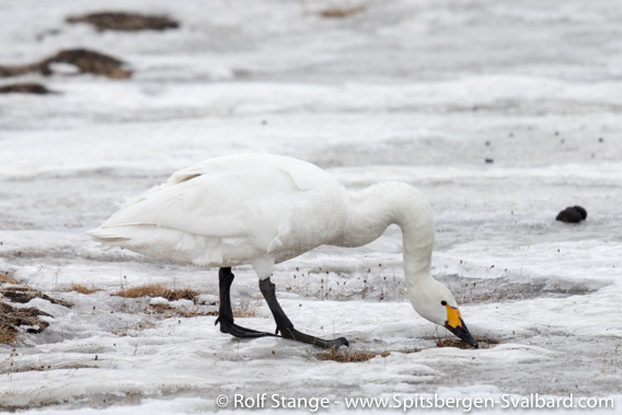 Tundra swan in Adventdalen