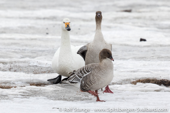 Tundra swan with pink-footed geese