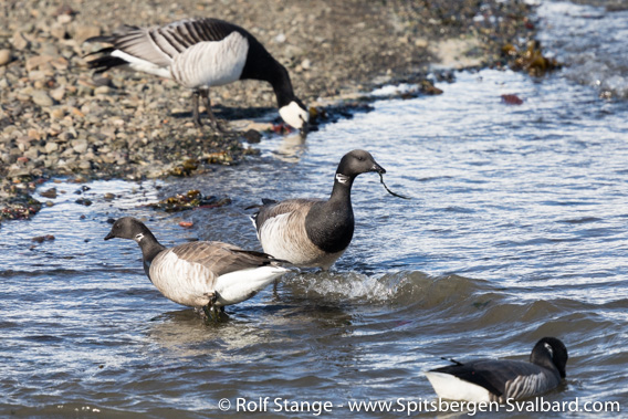Brent geese, Adventfjord