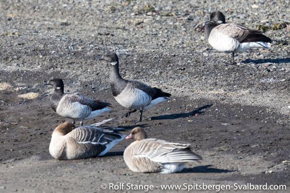 Brent geese
