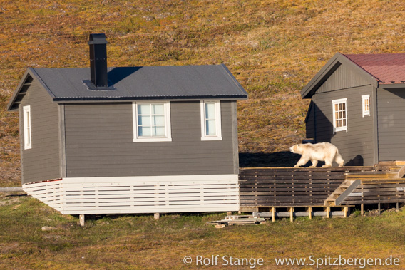 Polar bear in Hiorthhamn near Longyearbyen